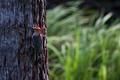 Male Red-bellied Woodpecker - PhotoDune Item for Sale