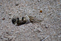Sand Crab on the Beach - PhotoDune Item for Sale