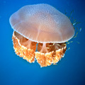 Jellyfish - PhotoDune Item for Sale