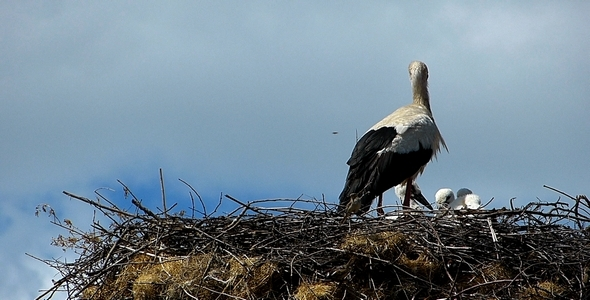 Stork with Babies 1