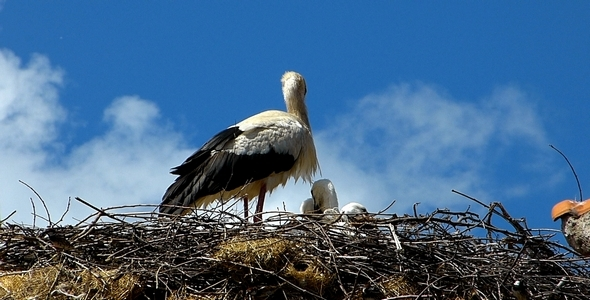 Stork with Babies 2