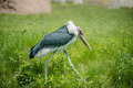 Marabou stork Walking - PhotoDune Item for Sale