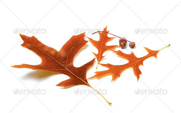Autumn oak leaves and acorns - Stock Photo - Images
