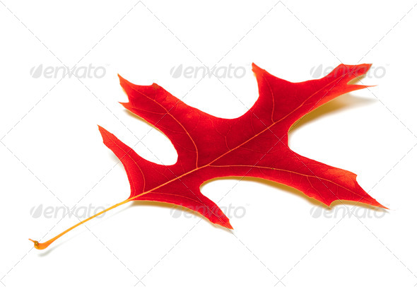 Red leaf of oak - Stock Photo - Images