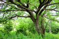 Ancient oak tree - PhotoDune Item for Sale