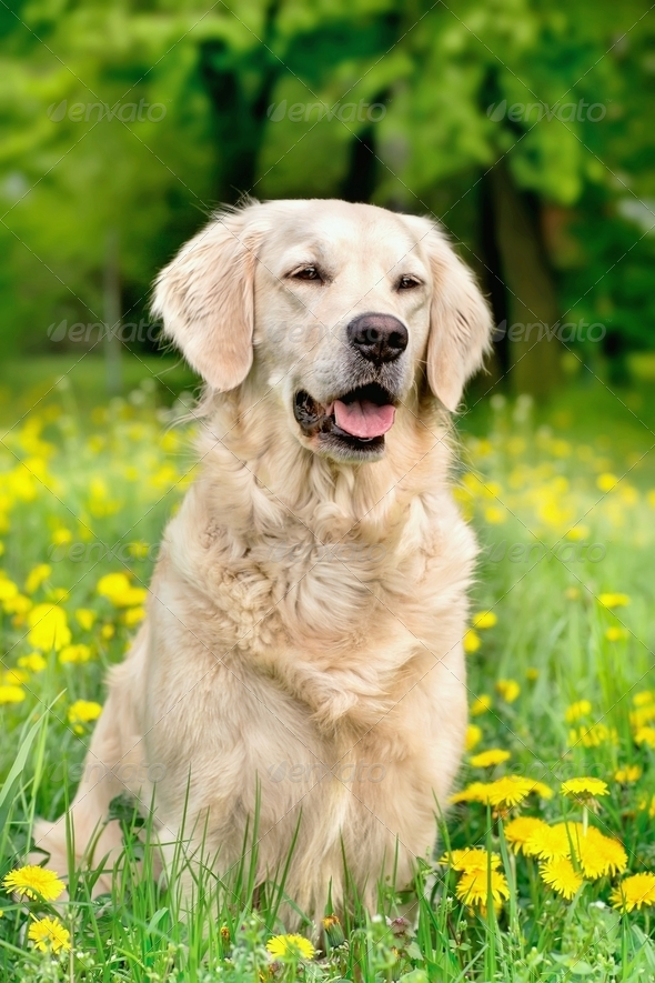 Young Golden Retriever posing between dandelions - Stock Photo - Images