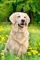 Young Golden Retriever posing between dandelions - PhotoDune Item for Sale