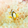 Clownfish - PhotoDune Item for Sale
