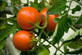 Three tomatoes on the bush - PhotoDune Item for Sale
