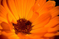Close-up of an orange Gerbera flower 2/3 - PhotoDune Item for Sale