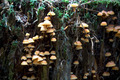 Some yellow mushrooms on a mossy tree stub - PhotoDune Item for Sale
