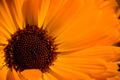 Close-up of an orange Gerbera flower 3/3 - PhotoDune Item for Sale