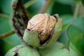 A walnut in a shell hanging on a tree 2/4 - PhotoDune Item for Sale