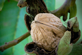 A walnut in a shell hanging on a tree 3/4 - PhotoDune Item for Sale