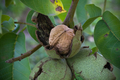 A walnut in a shell hanging on a tree 4/4 - PhotoDune Item for Sale