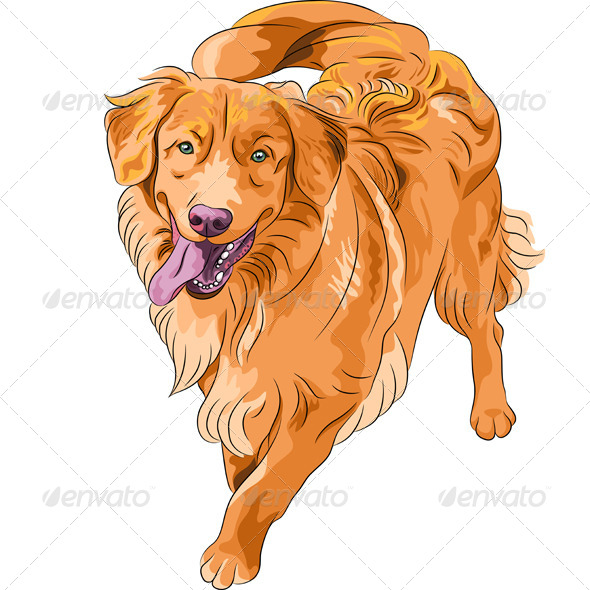 dog Nova Scotia Duck Tolling Retriever breed - Animals Characters