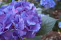 Blue Geranium - PhotoDune Item for Sale