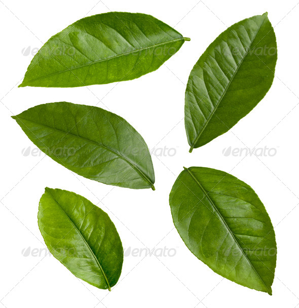 Lemon Leaves isolated on white - Stock Photo - Images