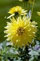 Yellow Dahila - PhotoDune Item for Sale