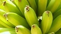 Bananas in Tree - PhotoDune Item for Sale