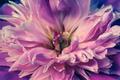 Peony Bloom Close Up - PhotoDune Item for Sale