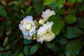 Rose Blooms - PhotoDune Item for Sale