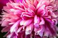 Pink Flower Petals - PhotoDune Item for Sale