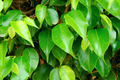 Ficus Leaves - PhotoDune Item for Sale