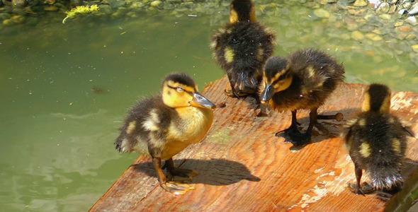 Little Chicks 2