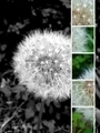 Artistic Dandelion - PhotoDune Item for Sale