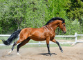 Bay purebred Stallion Gallops on manege  - PhotoDune Item for Sale