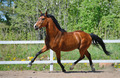 Troting Bay purebred Horse on manege  - PhotoDune Item for Sale