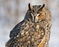 Portrait of Long-Eared Owl on grey background - PhotoDune Item for Sale