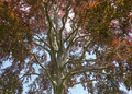 Red Beech treetop - PhotoDune Item for Sale