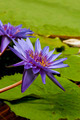 Water Lillies - PhotoDune Item for Sale