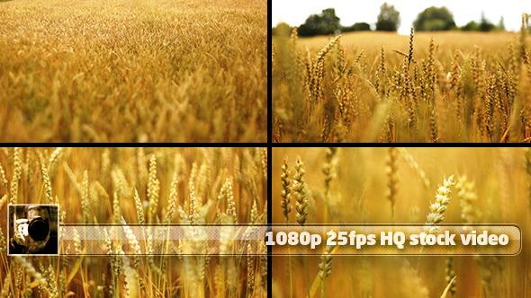 Wheat Field Pack 4 shots 1