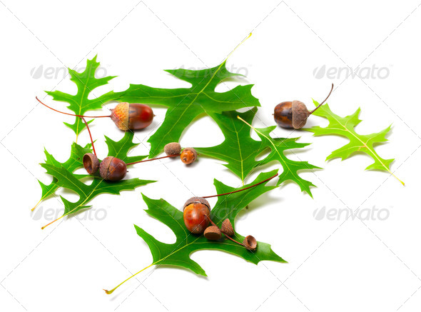 Acorns and green leafs of oak (Quercus palustris) - Stock Photo - Images