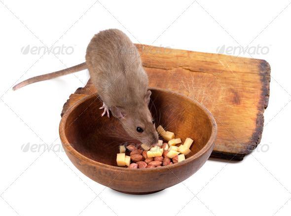 Brown rat eating from wooden plate - Stock Photo - Images