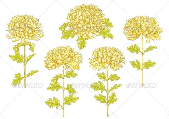 GraphicRiver Set of 5 Chrysanthemum Flower 5061495