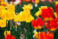 Colorful yellow and red spring flowers tulips - PhotoDune Item for Sale