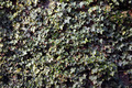 Ivy Texture - PhotoDune Item for Sale