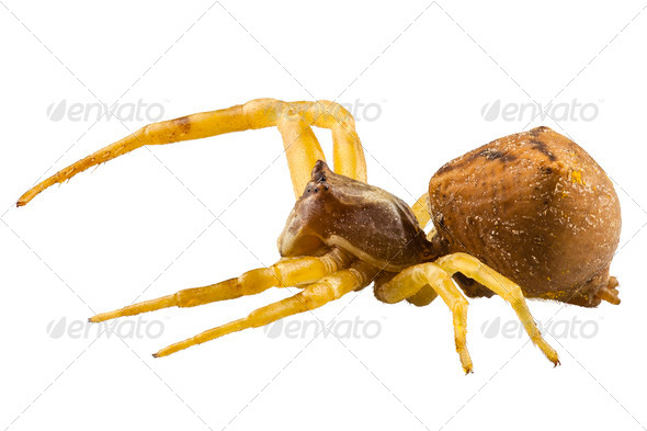 goldenrod crab spider species Misumena vatia - Stock Photo - Images