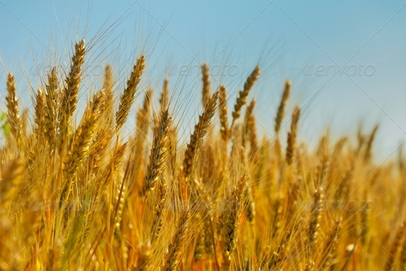 wheat field with blue sky in background - Stock Photo - Images