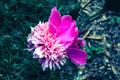Peony Bloom - PhotoDune Item for Sale