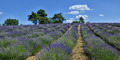 Lavender Field-8 - PhotoDune Item for Sale