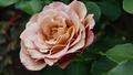 Koko Loco Rose - PhotoDune Item for Sale