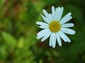 Fractal Daisy - PhotoDune Item for Sale