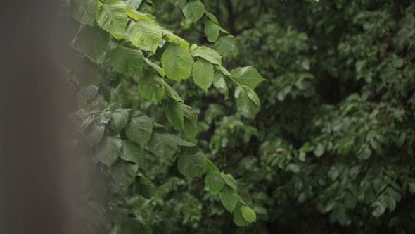 VideoHive Rain And Grean Leaves Focus Pulling 5123644