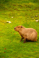 Capybara - PhotoDune Item for Sale