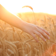 Hands On Cereal Field - VideoHive Item for Sale
